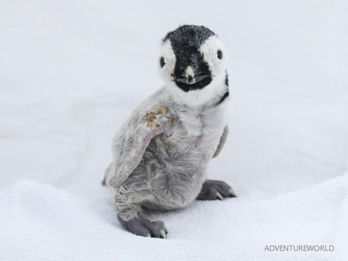 10月1日に生まれたエンペラーペンギンの赤ちゃん(10月3日撮影)
