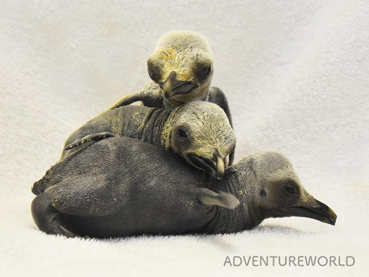 2020年1月に生まれた3羽のキングペンギンのひな