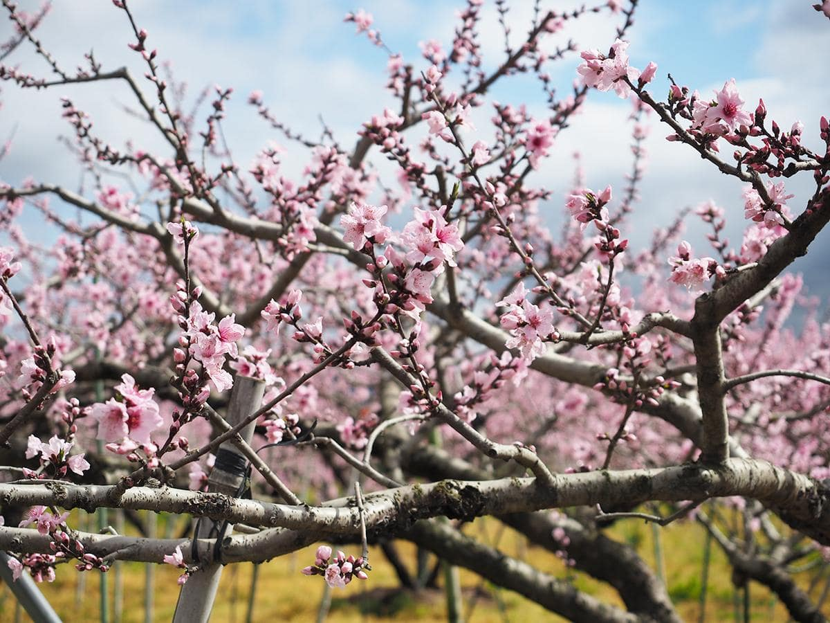 7分咲きのモモの花(3月29日撮影)