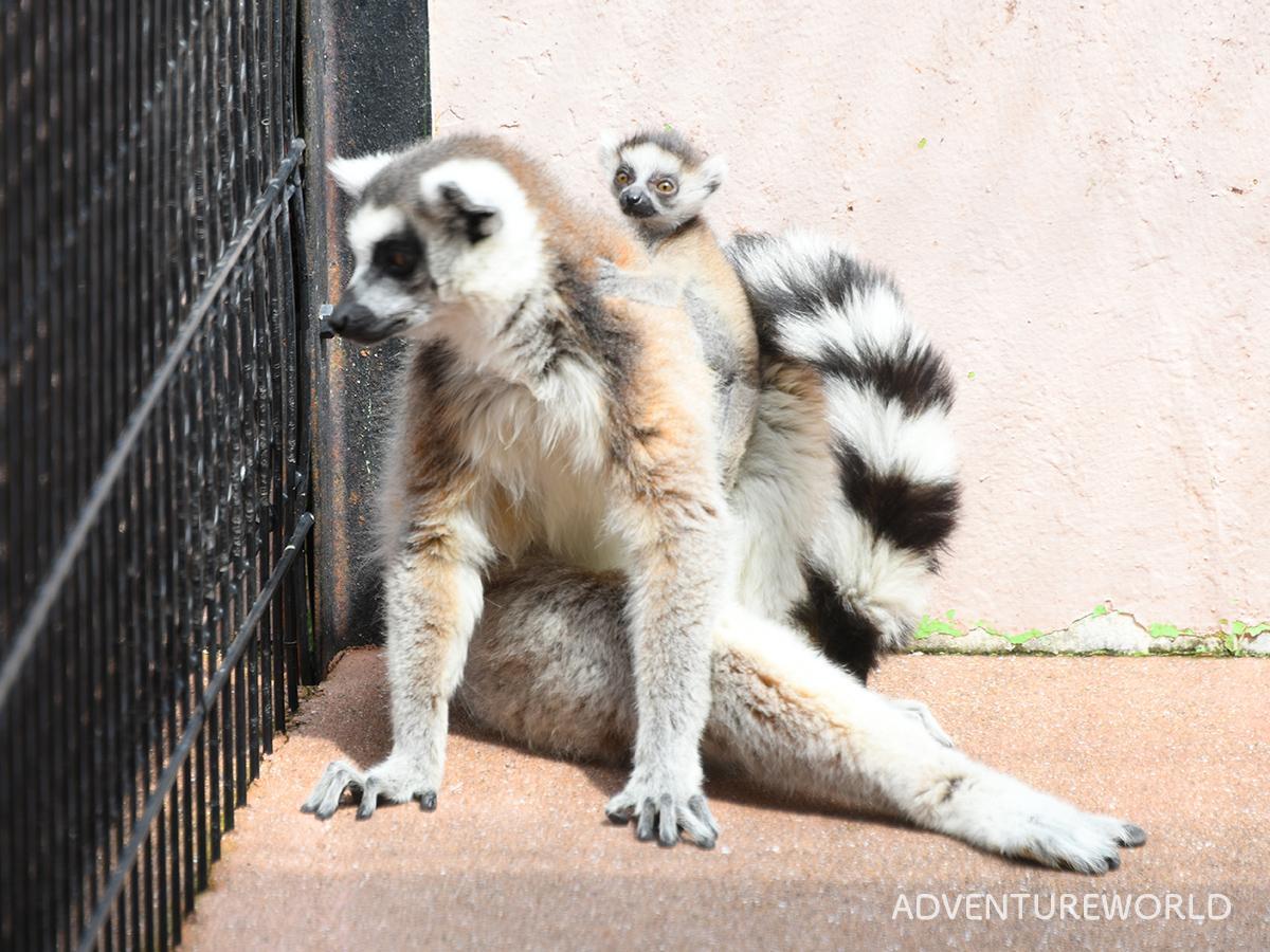 母親の背中にしがみつくワオキツネザルの赤ちゃん(4月3日撮影)