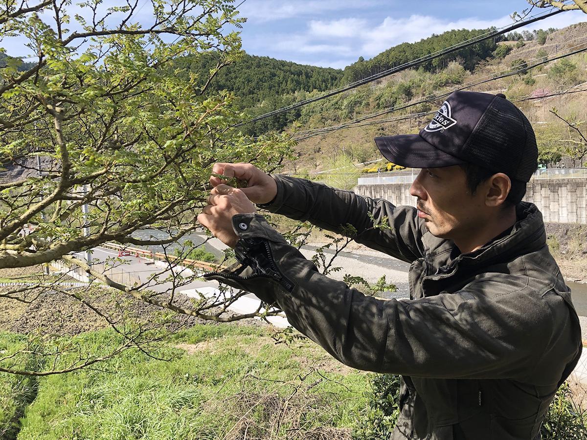 花さんしょうを収穫する「きとら農園」新田さん