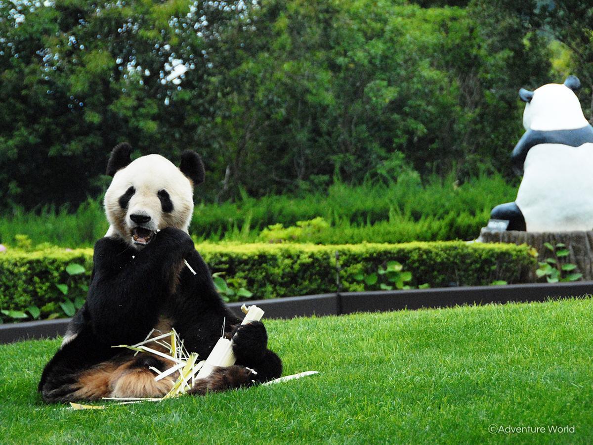 アドベンチャーワールドのウェブサイトで無料配布する背景素材「今日も食欲旺盛なジャイアントパンダ」