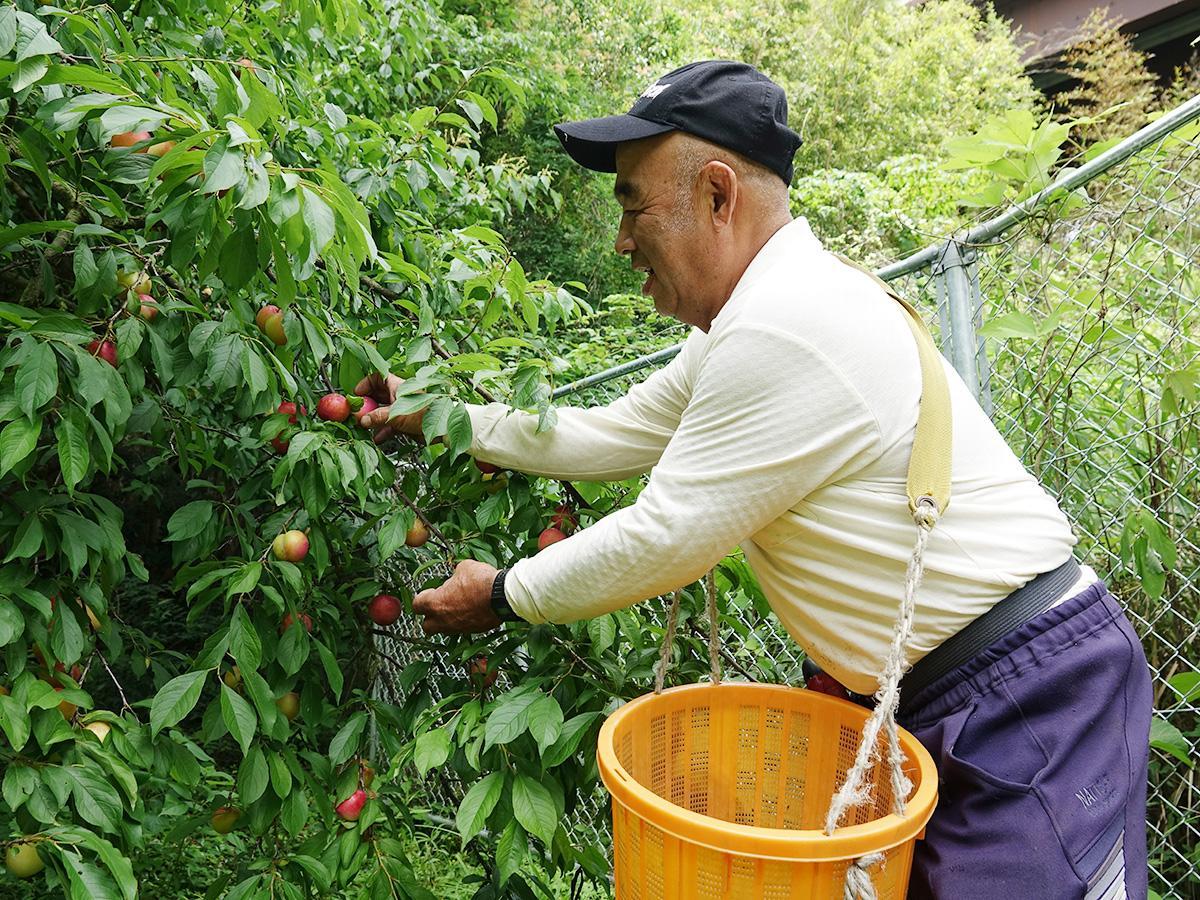スモモを収穫する平山さん