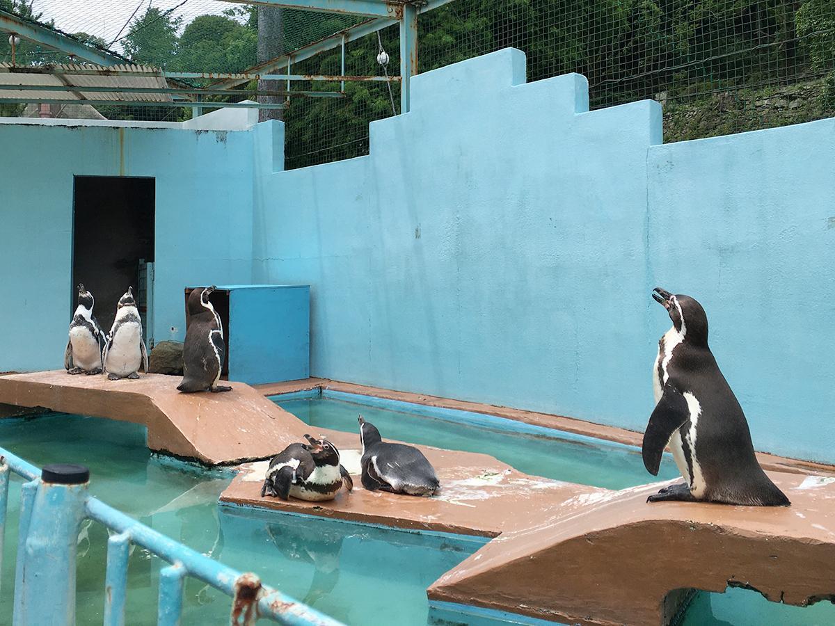 みさき公園から来たペンギンが加わりにぎやかになったペンギン舎(7月11日撮影)