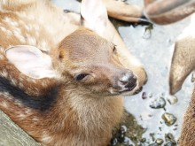 和歌山城公園動物園でシカの赤ちゃん誕生 初夏生まれの「こなつ」
