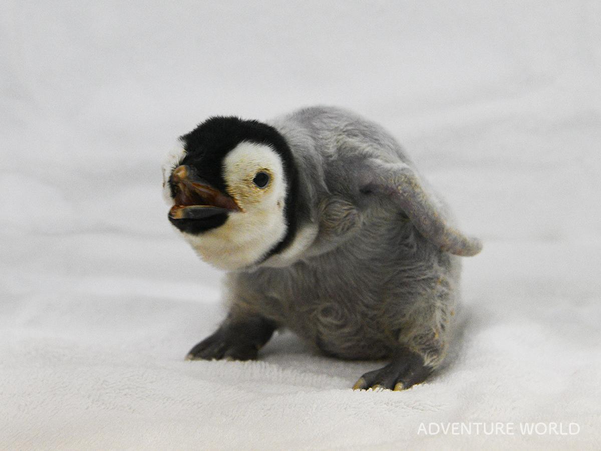 すくすく成長するエンペラーペンギンのひな(10月12日撮影)