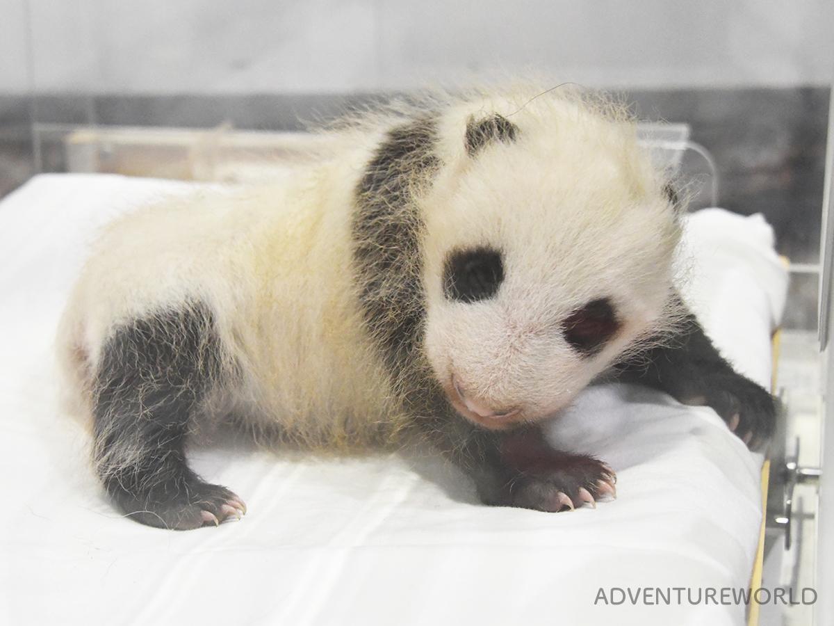 36日齢を迎えた赤ちゃんパンダ(12月28日撮影)