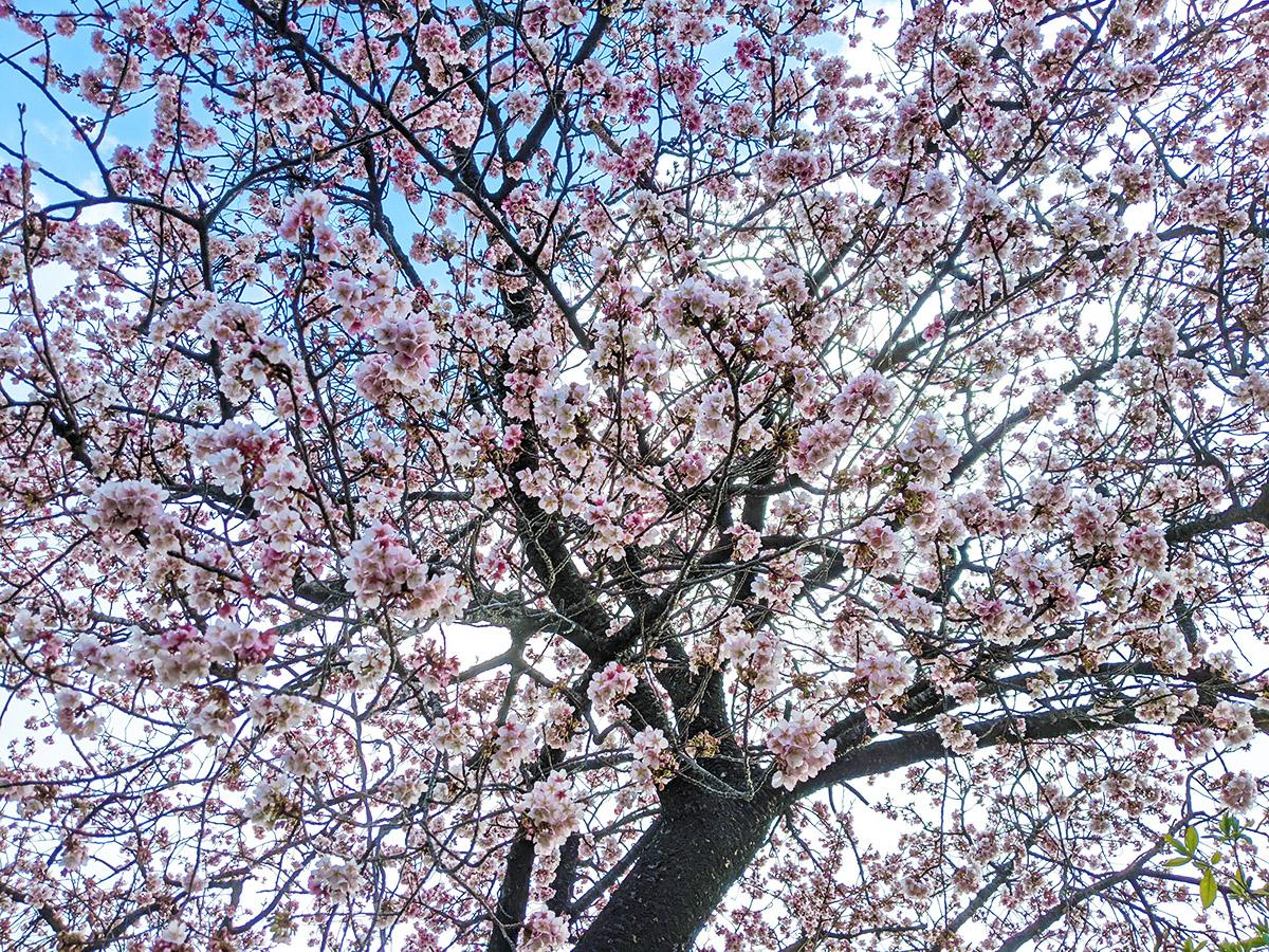 色が濃く、花が下向きに開くのが特徴の地蔵の辻の早咲き桜