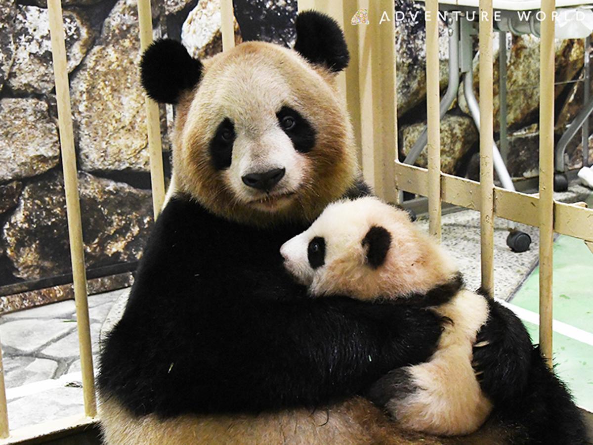 母パンダ「良浜」に抱かれた赤ちゃんパンダ