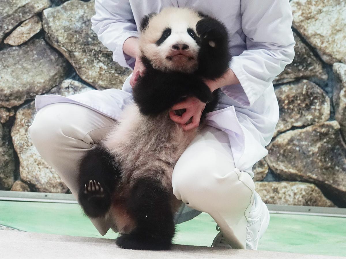 約11万通の応募の中から名前が決まった赤ちゃんパンダ「楓浜(ふうひん)」(2021年3月12日撮影)
