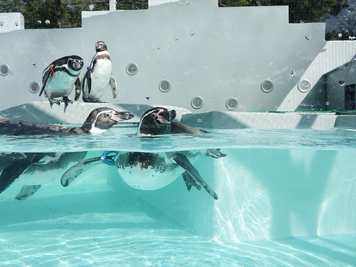 リニューアルしたガラス張りのプールで泳ぐペンギンたち
