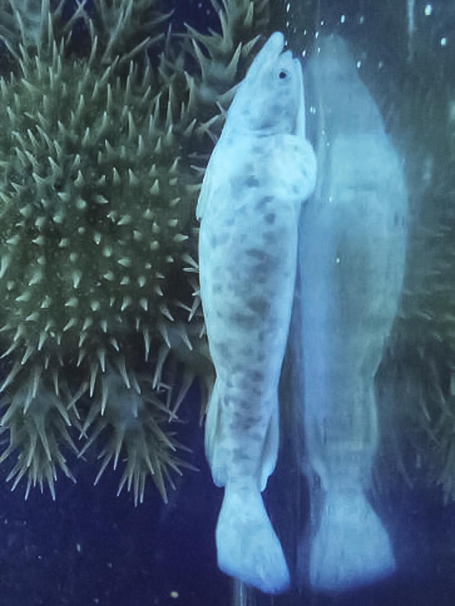和歌山県立自然博物館で展示中のシロコバン(写真提供=和歌山県立自然博物館)