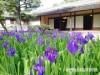 和歌山・西浜の養翠園でカキツバタが見頃 5年ぶりに満開に