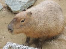 和歌山城公園動物園でカピバラと触れ合い 3月までマーラ舎に「居候」