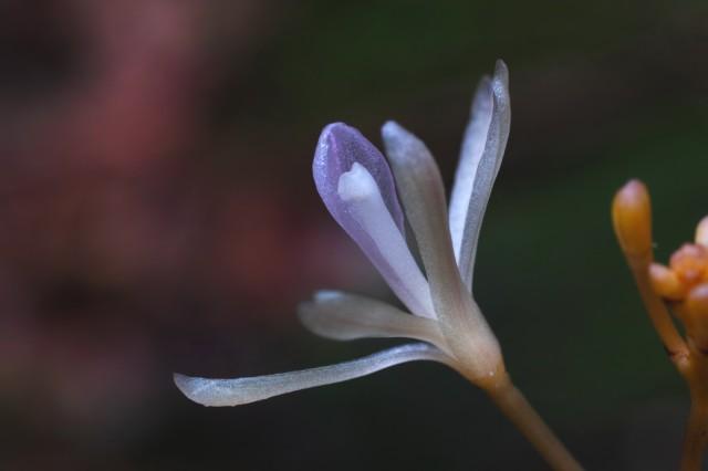 7~8月に約2センチの白い花を5個程度つけるタブガワムヨウラン ©Hiroaki Yamashita