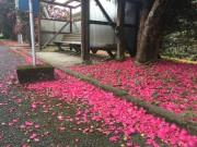 屋久島のバス停に桃色のじゅうたん サザンカの花が満開の見頃