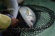 屋久島のシマアジ釣り最盛期 日本有数の天然魚と漁師の駆け引き