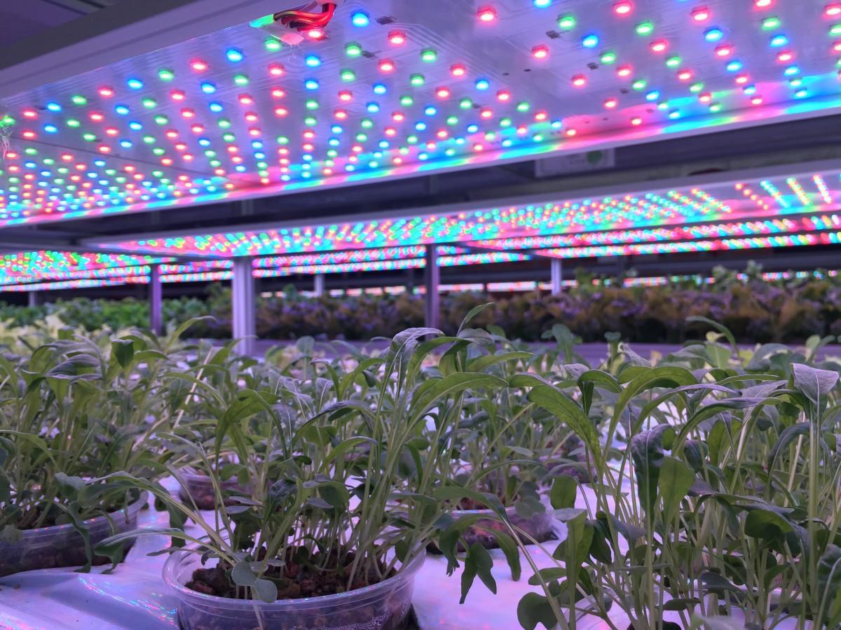 3色のLED電球の色の組み合わせで、水耕栽培の生育を調整する