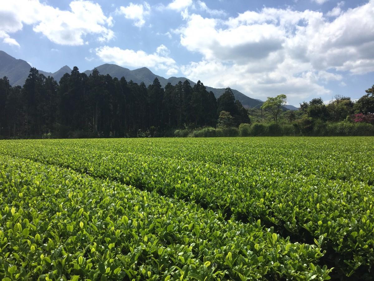 愛子岳の麓に広がる八万寿茶園の茶畑