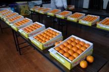 屋久島の特産品タンカンの品評会 歴史や伝統重んじる農業集落で続く