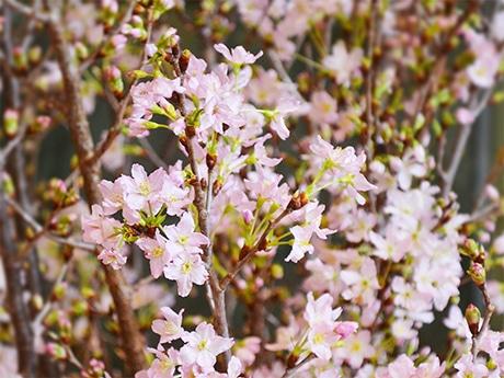 冬に咲く桜として人気を集める山形の「啓翁桜」