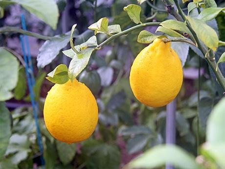 大きく育ったレモン