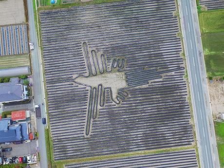 里芋畑の地上絵