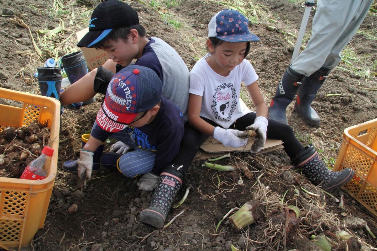 里芋掘りをする小学生