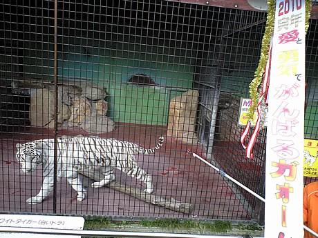 秋吉台サファリランドで飼育されているホワイトタイガー
