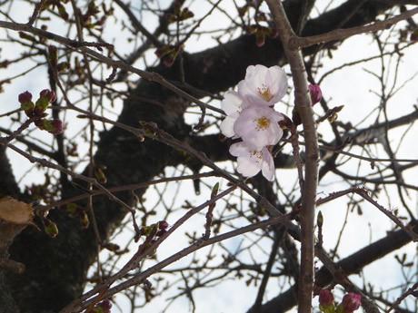 誇らしげに開花したときわ公園のソメイヨシノ