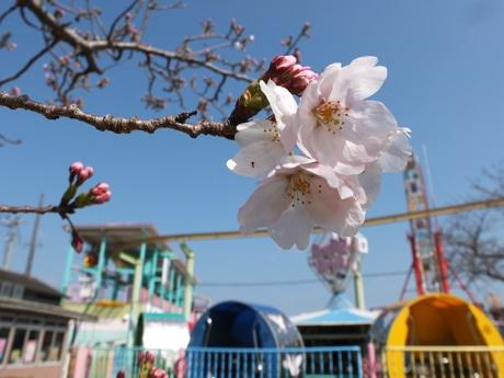 宇部ときわ公園内遊園地で開花した桜 撮影日=今月27日