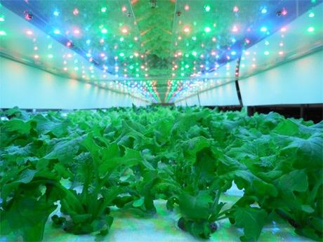 クリーンルームの工場内で野菜を栽培する「ウベモクファーム」