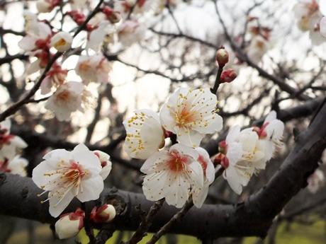 梅が見頃を迎えている宇部ときわ公園