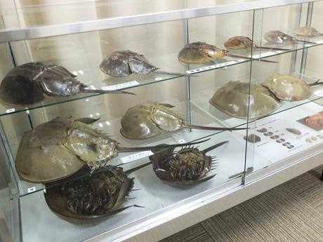23匹のカブトガニの標本も展示する「カブトガニ展」