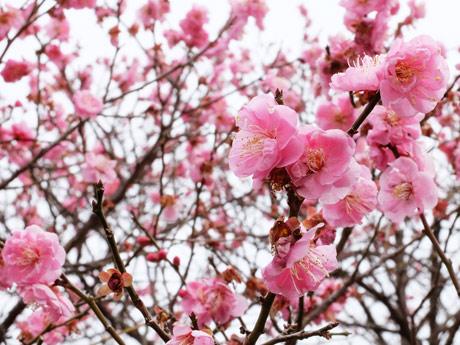 現在、つぼみから開花まで楽しめるときわ公園の梅園