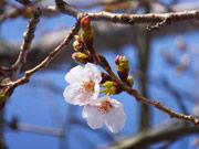 宇部・ときわ公園で桜が開花 ちょうちん飾りライトアップも