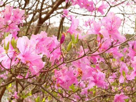 鮮やかなピンク色の花をつけるコバノミツバツツジが見ごろ