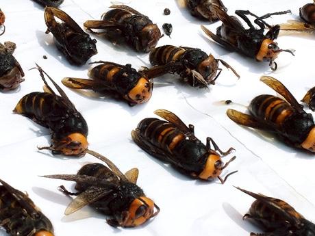 トラップで捕獲したスズメバチ