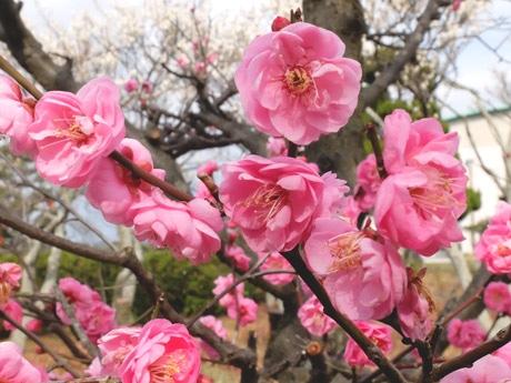 白やピンクの梅が開花している梅園の様子(2月7日撮影)