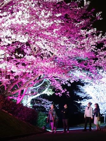 湖水ホール横の「桜山」夜桜のライトアップの様子