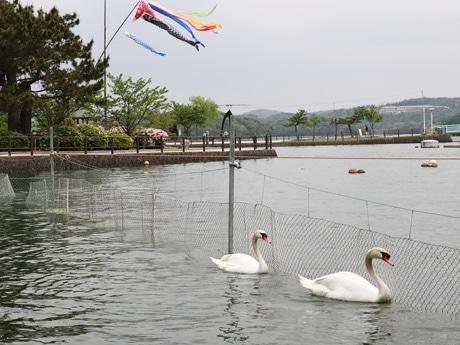 常盤湖を泳ぐ2羽の白鳥