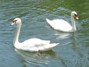宇部ときわ公園の「白鳥募金」、目標金額達成に近づく