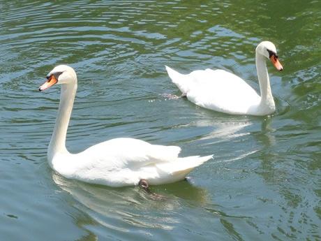 常盤湖を泳ぐ白鳥のつがい