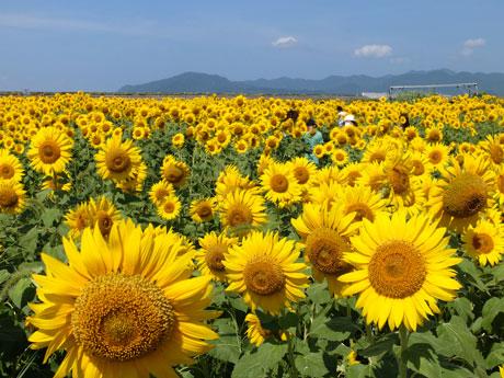 密集して開花するヒマワリ(8月5日撮影)