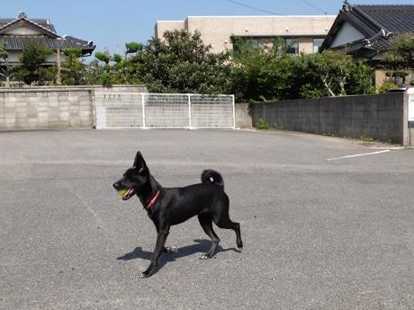 ドッグランを走る看板犬の「ロクちゃん」