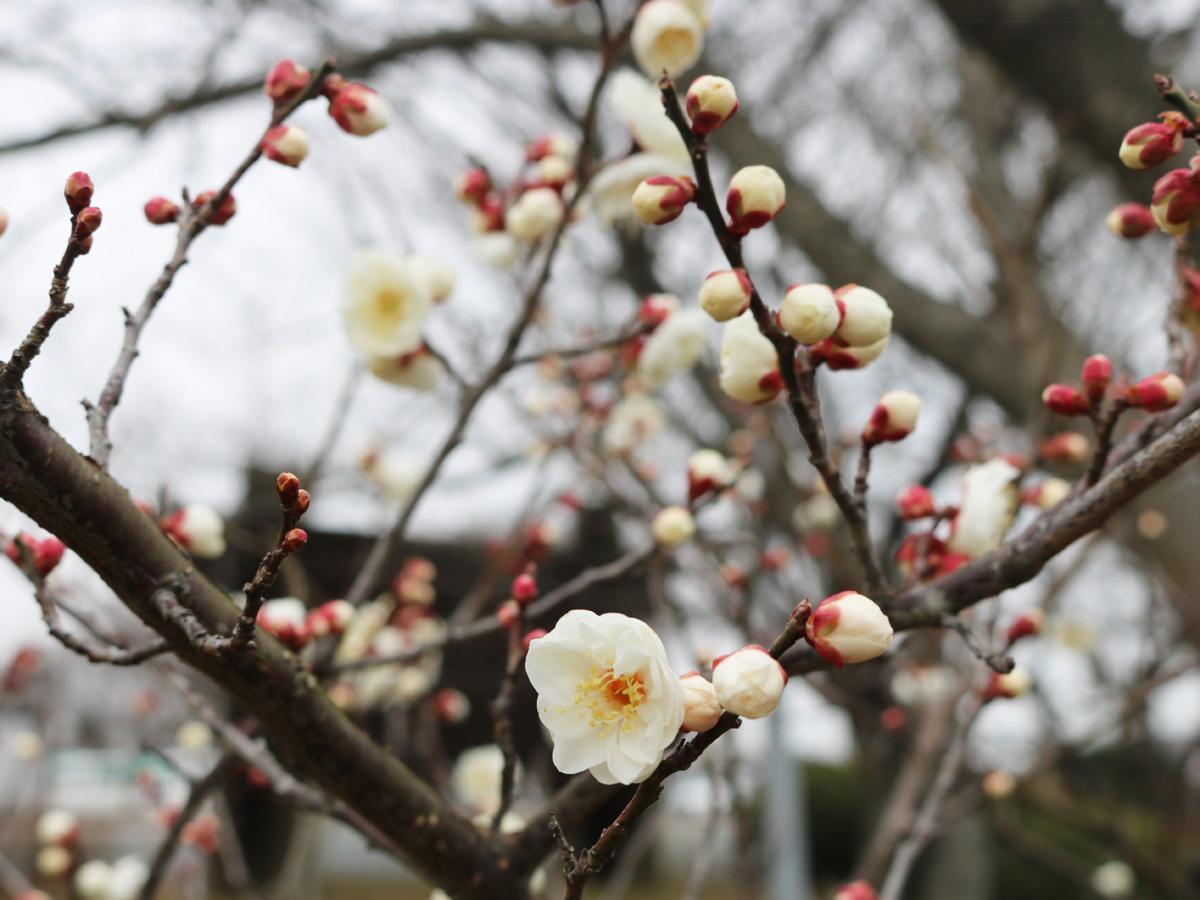 宇部ときわ公園の梅園に咲く梅の花