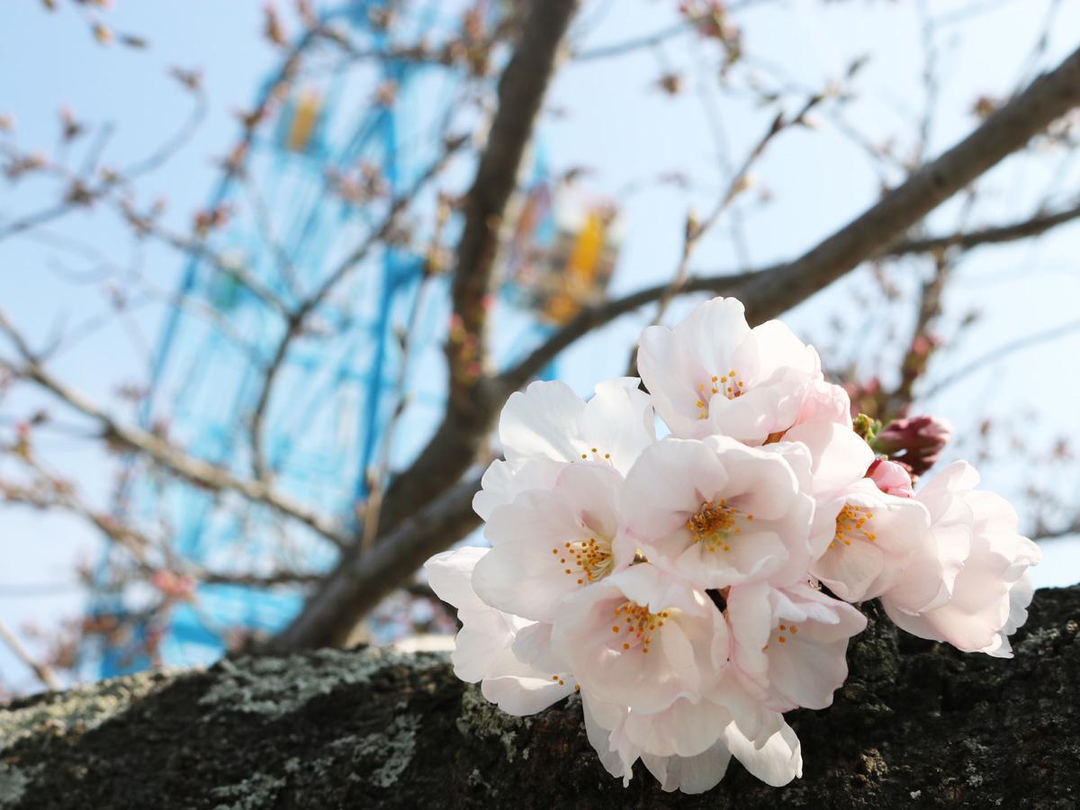 遊園地内で 開花した桜