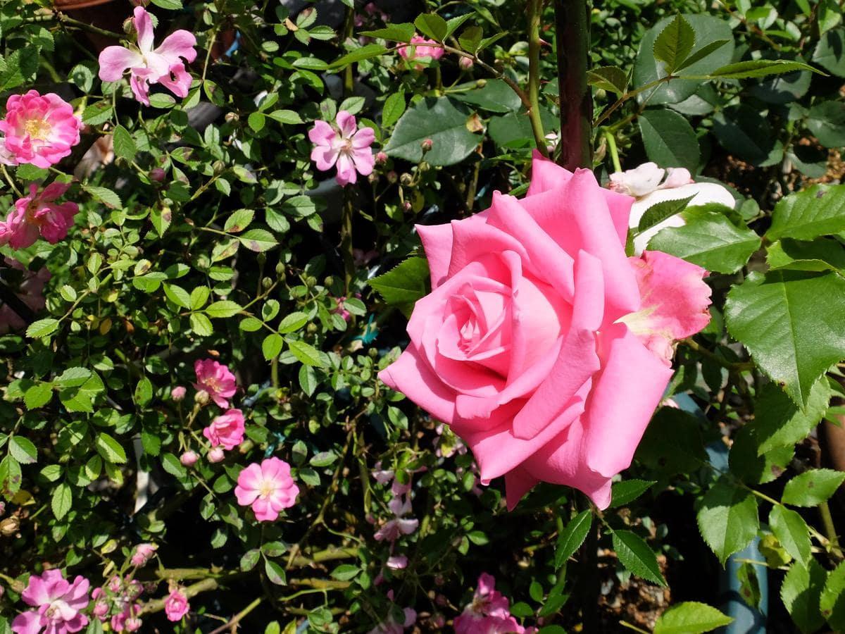 新井夫妻が育てているバラは「ピンクが多い」(富子さん)