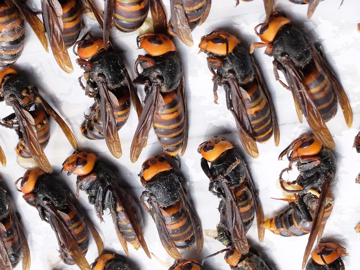捕獲したスズメバチは計483匹