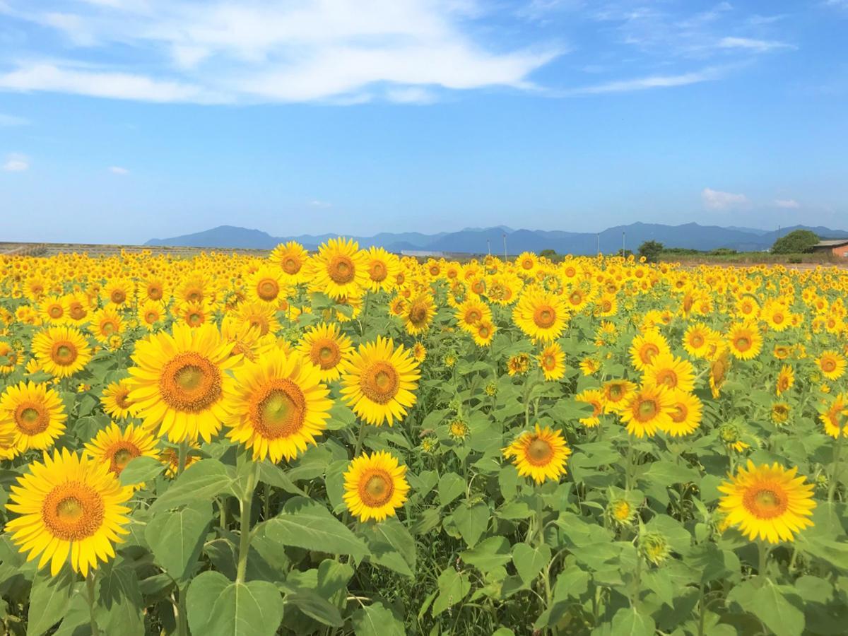 夏空の下で咲き誇る「花の海」のヒマワリ